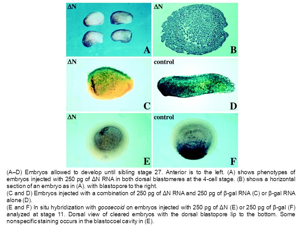 (A–D) Embryos allowed to develop until sibling stage 27