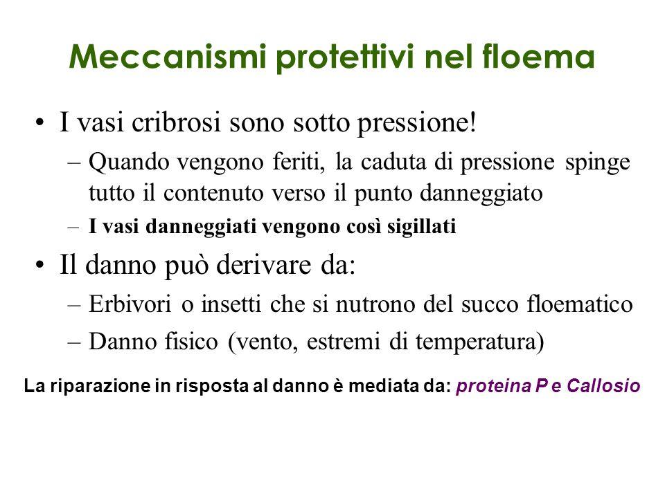 Meccanismi protettivi nel floema