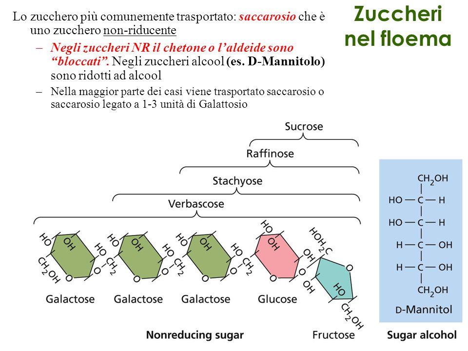 Lo zucchero più comunemente trasportato: saccarosio che è uno zucchero non-riducente