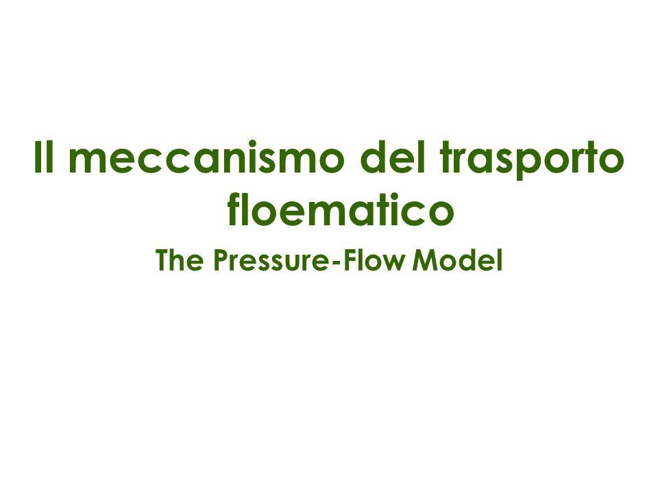 Il meccanismo del trasporto floematico The Pressure-Flow Model