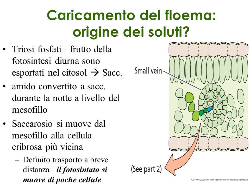 Caricamento del floema: origine dei soluti