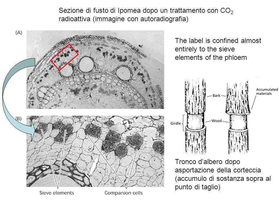 Sezione di fusto di Ipomea dopo un trattamento con CO2 radioattiva (immagine con autoradiografia)
