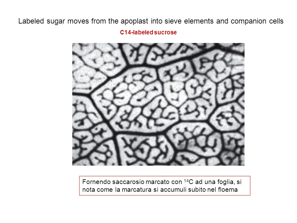 Labeled sugar moves from the apoplast into sieve elements and companion cells