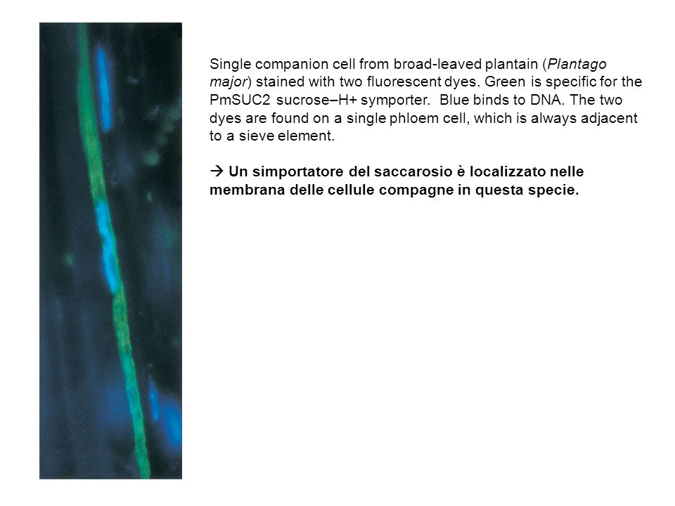 Single companion cell from broad-leaved plantain (Plantago major) stained with two fluorescent dyes. Green is specific for the PmSUC2 sucrose–H+ symporter. Blue binds to DNA. The two dyes are found on a single phloem cell, which is always adjacent to a sieve element.