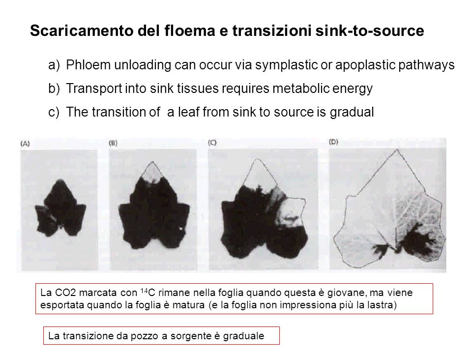 Scaricamento del floema e transizioni sink-to-source