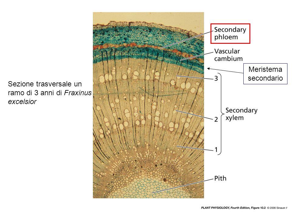 Meristema secondario Sezione trasversale un ramo di 3 anni di Fraxinus excelsior