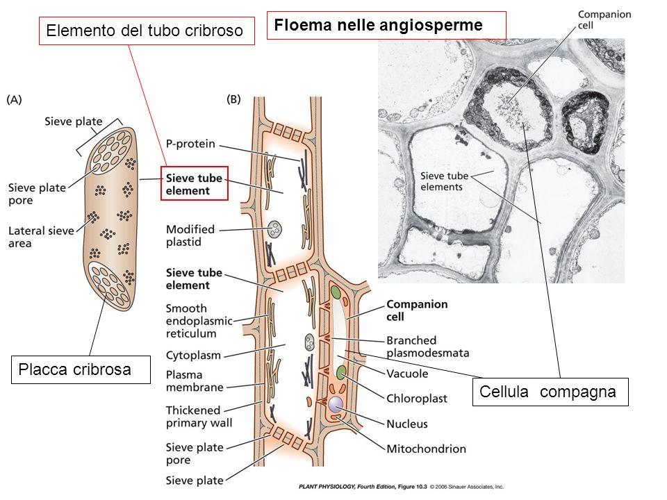 Floema nelle angiosperme