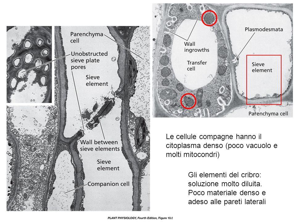 Le cellule compagne hanno il citoplasma denso (poco vacuolo e molti mitocondri)