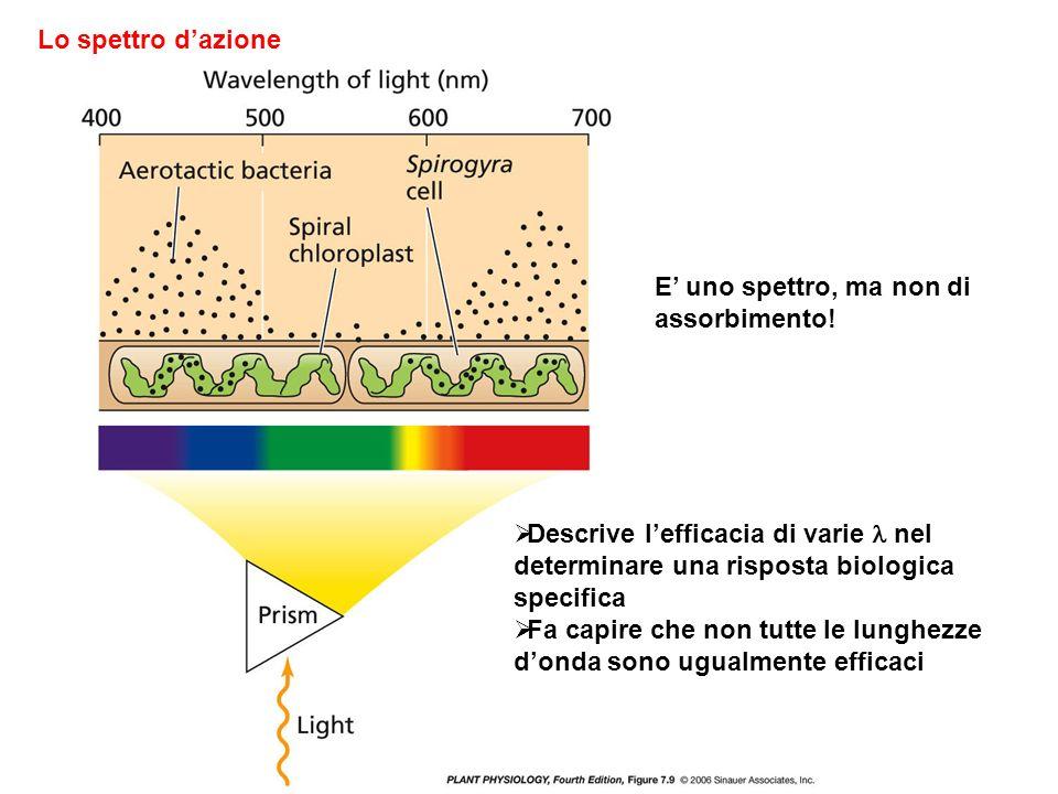 Lo spettro d'azione E' uno spettro, ma non di assorbimento! Descrive l'efficacia di varie  nel determinare una risposta biologica specifica.