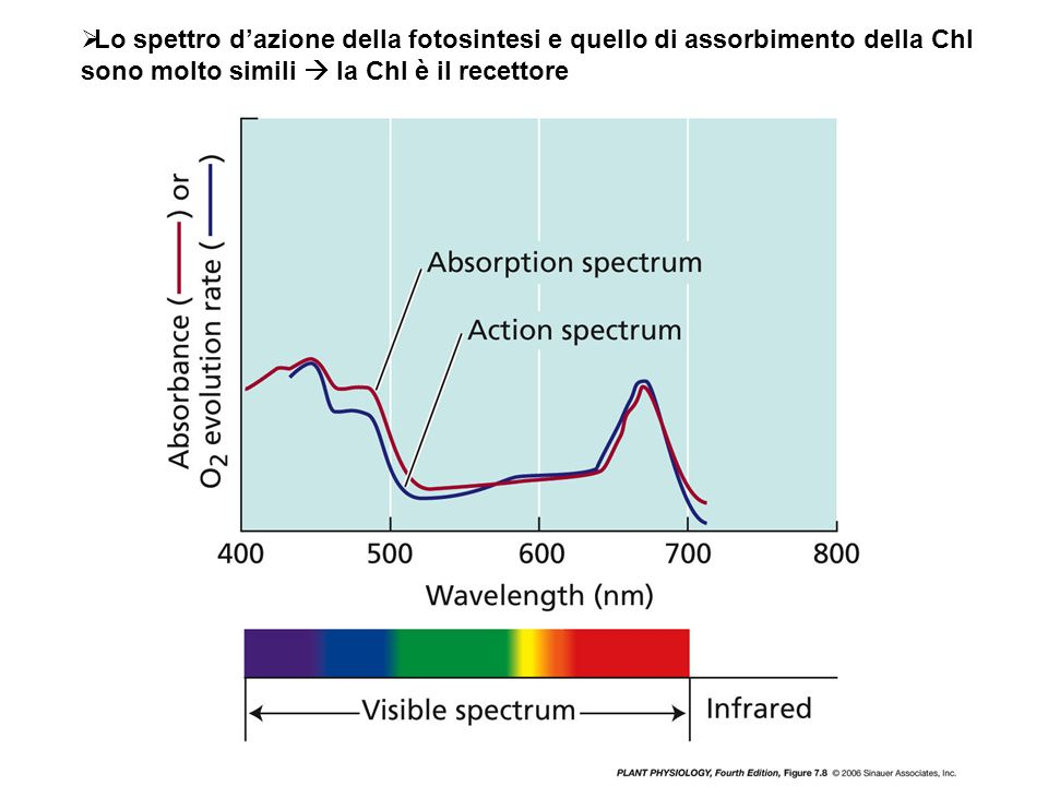 Lo spettro d'azione della fotosintesi e quello di assorbimento della Chl sono molto simili  la Chl è il recettore