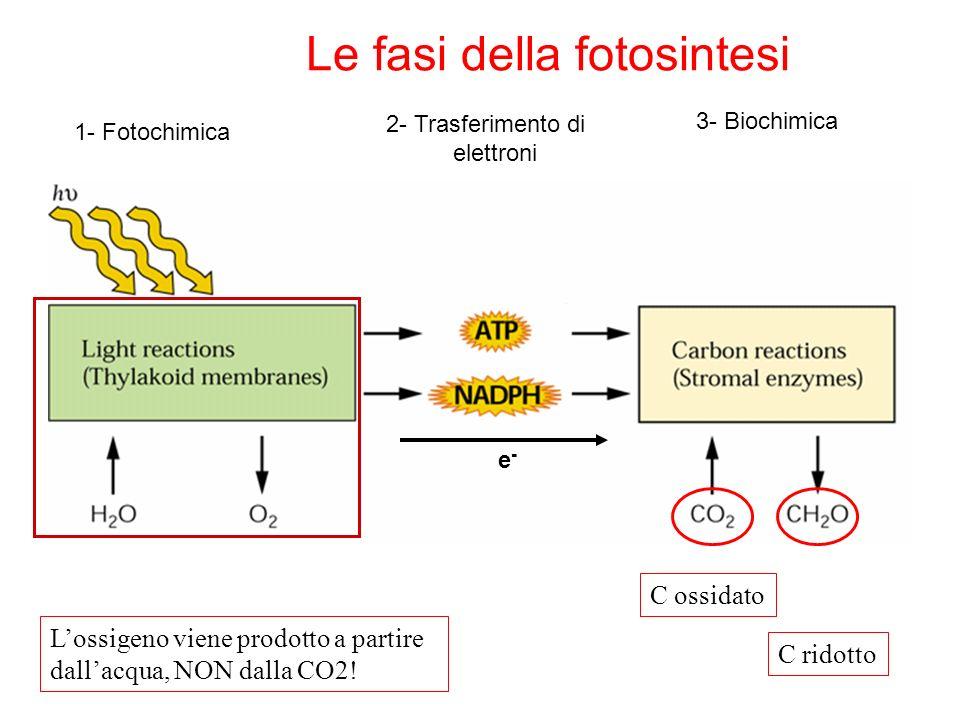 Le fasi della fotosintesi