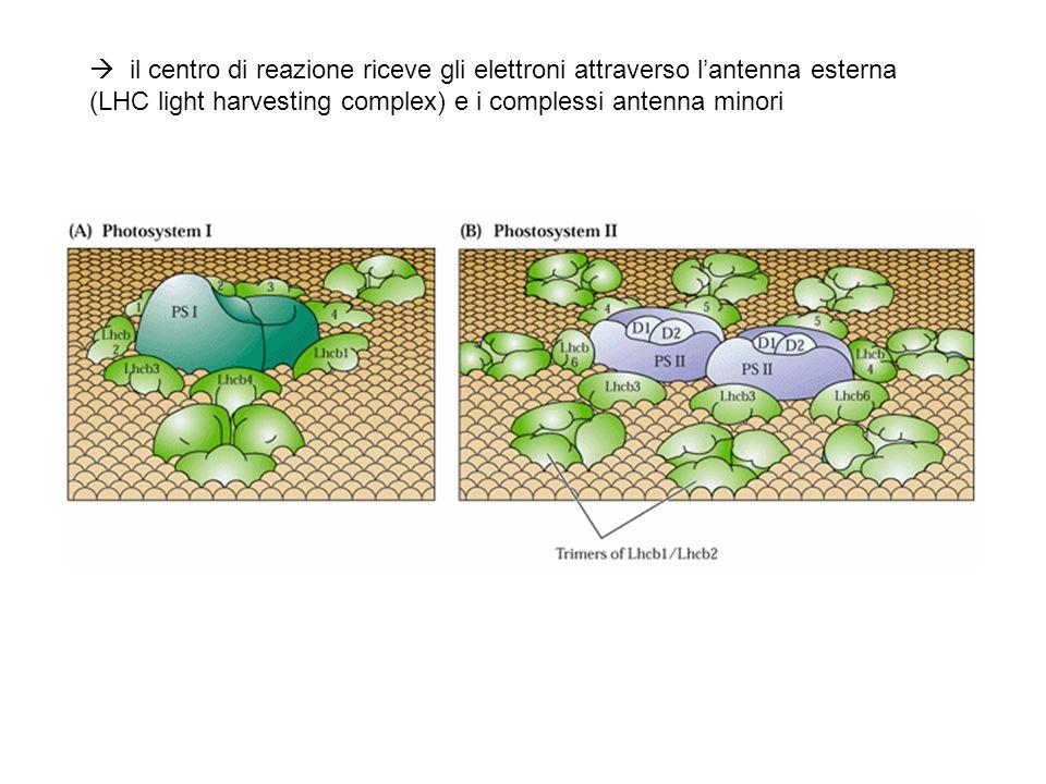  il centro di reazione riceve gli elettroni attraverso l'antenna esterna (LHC light harvesting complex) e i complessi antenna minori