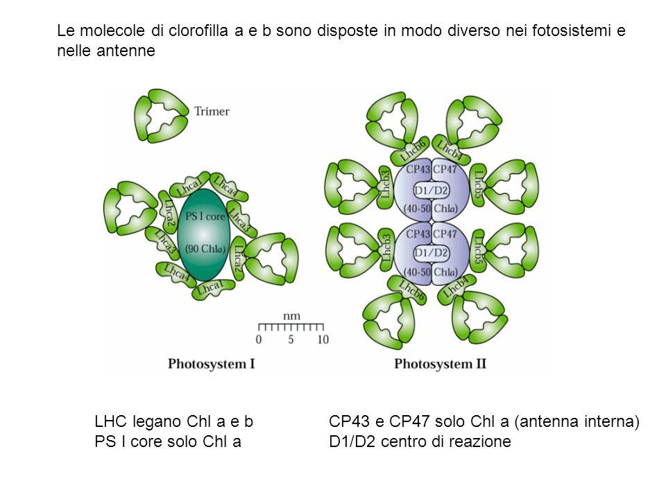 Le molecole di clorofilla a e b sono disposte in modo diverso nei fotosistemi e nelle antenne
