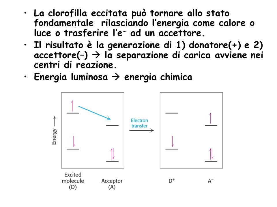 La clorofilla eccitata può tornare allo stato fondamentale rilasciando l'energia come calore o luce o trasferire l'e- ad un accettore.