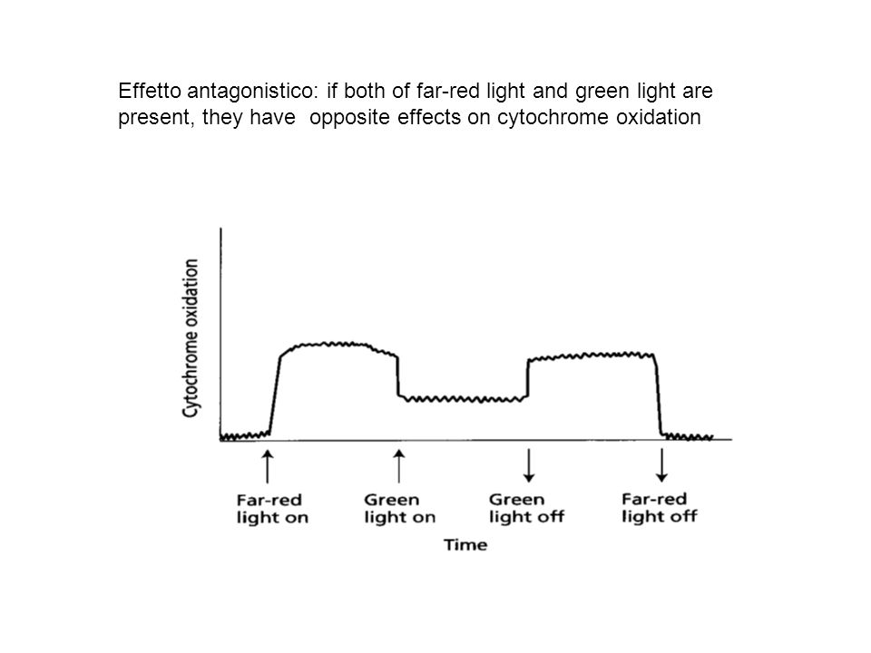 Effetto antagonistico: if both of far-red light and green light are present, they have opposite effects on cytochrome oxidation