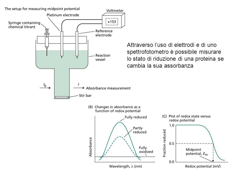 Attraverso l'uso di elettrodi e di uno spettrofotometro è possibile misurare lo stato di riduzione di una proteina se cambia la sua assorbanza