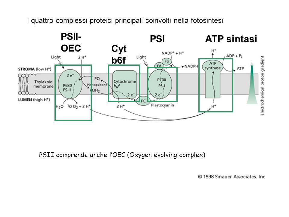 PSII-OEC PSI ATP sintasi Cytb6f