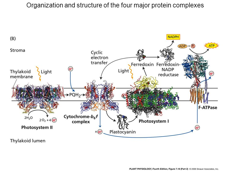 Organization and structure of the four major protein complexes