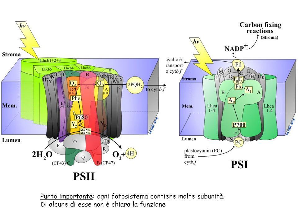 Punto importante: ogni fotosistema contiene molte subunità