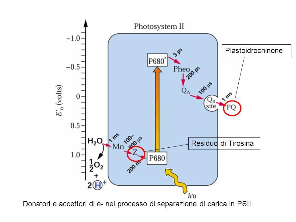 Plastoidrochinone Residuo di Tirosina.