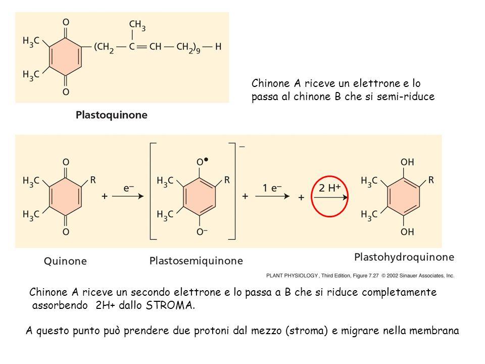 Chinone A riceve un elettrone e lo passa al chinone B che si semi-riduce