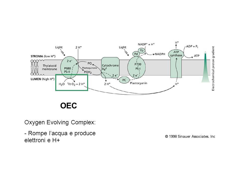 OEC Oxygen Evolving Complex: - Rompe l'acqua e produce elettroni e H+