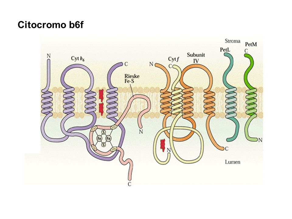 Citocromo b6f