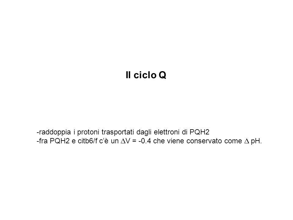Il ciclo Q -raddoppia i protoni trasportati dagli elettroni di PQH2