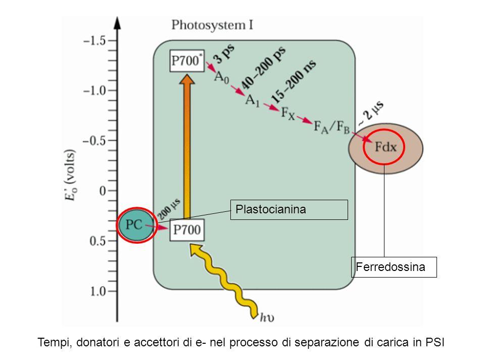 Ferredossina Plastocianina.