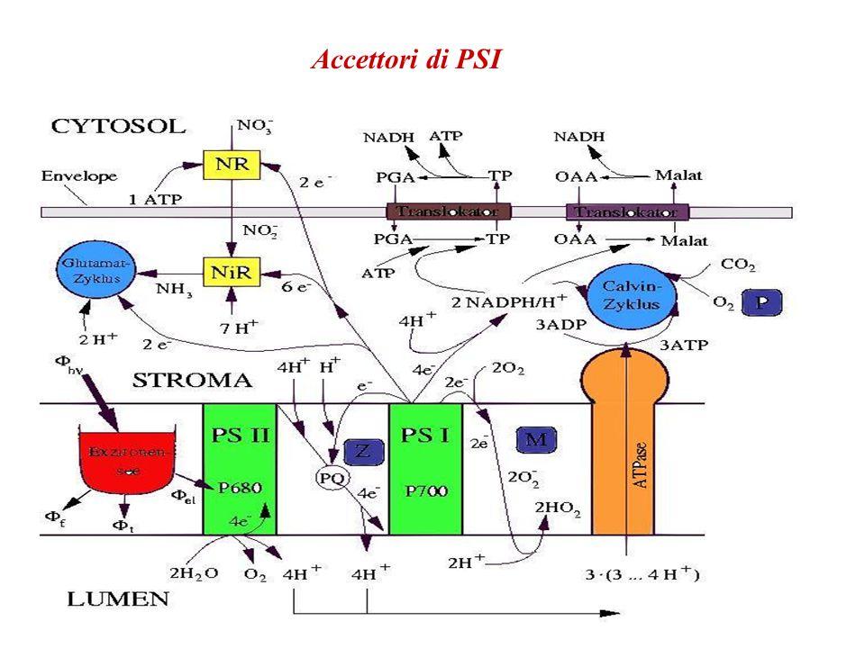 Accettori di PSI Bild mit PS I Akzeptoren