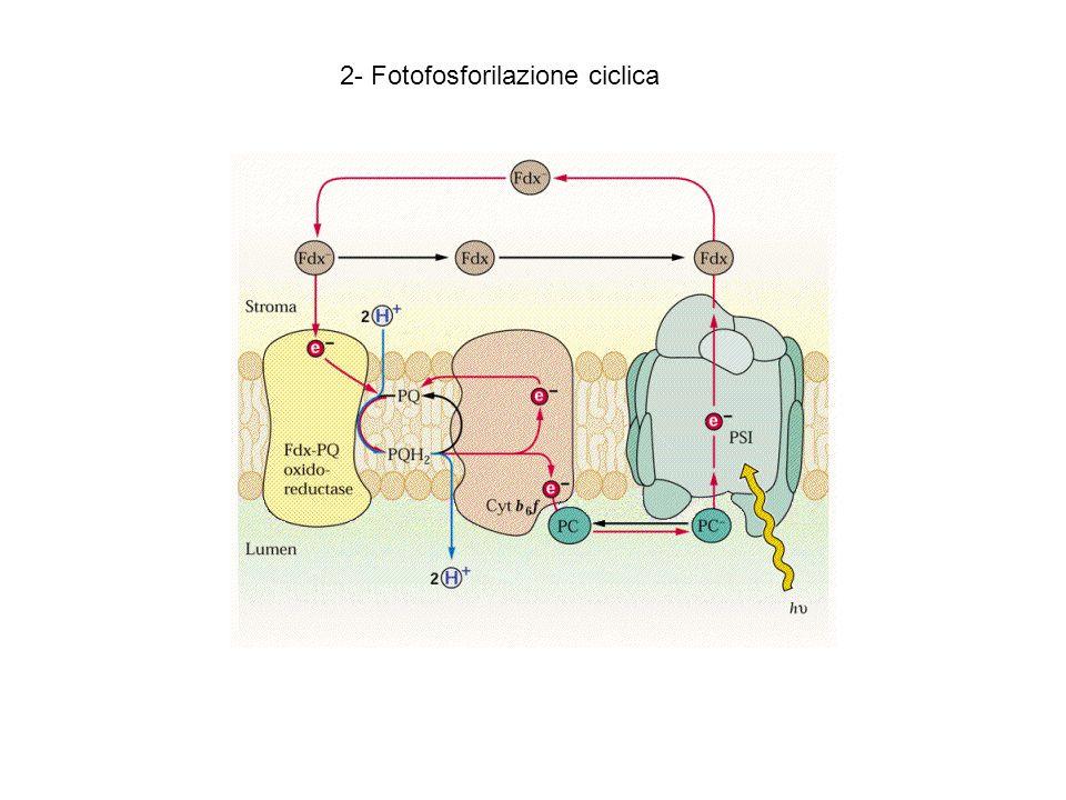 2- Fotofosforilazione ciclica