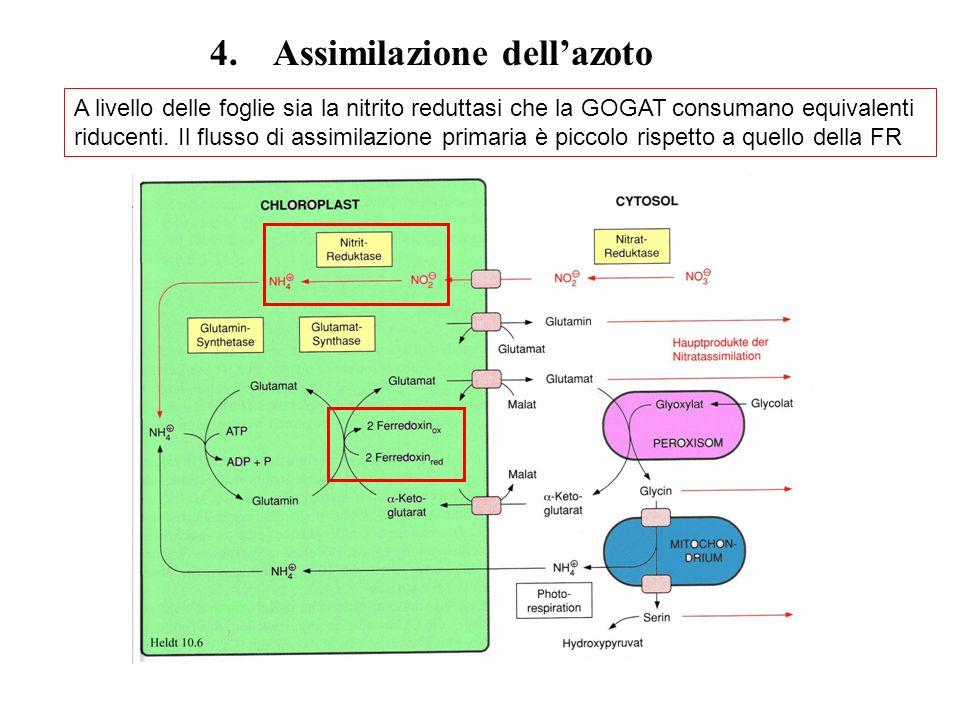 4. Assimilazione dell'azoto