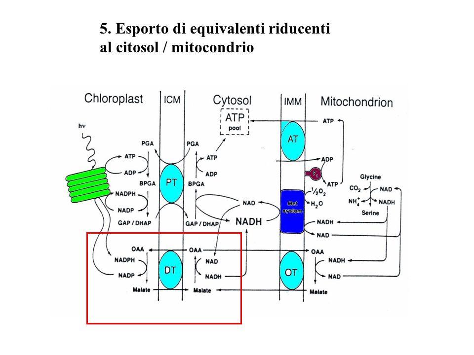 5. Esporto di equivalenti riducenti al citosol / mitocondrio