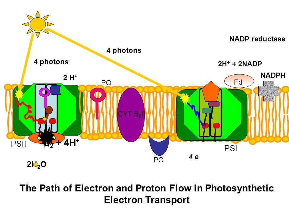 NADP reductase 4 photons. 4 photons. 2H+ + 2NADP. NADPH. 2 H+ Fd. PQ. CYT B6f. O2 + 4H+ PSII.