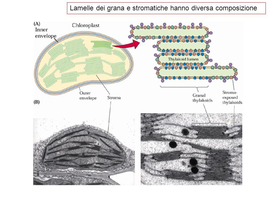 Lamelle dei grana e stromatiche hanno diversa composizione