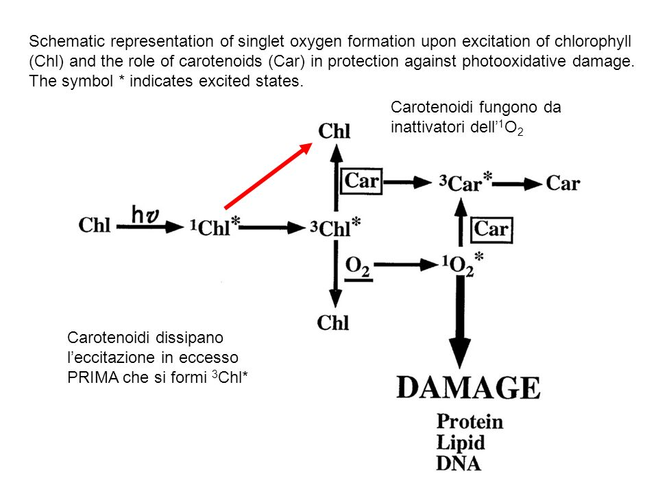 Schematic representation of singlet oxygen formation upon excitation of chlorophyll (Chl) and the role of carotenoids (Car) in protection against photooxidative damage. The symbol * indicates excited states.
