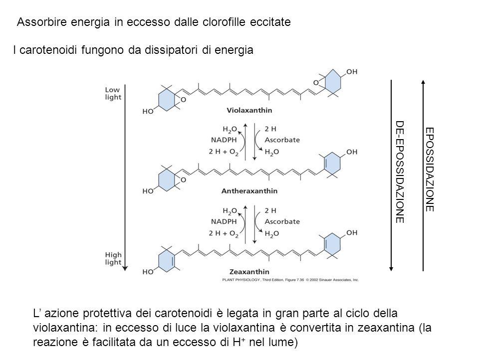 Assorbire energia in eccesso dalle clorofille eccitate