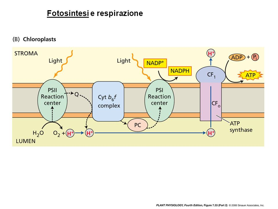 Fotosintesi e respirazione