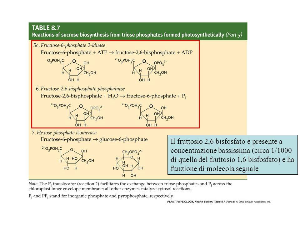 Il fruttosio 2,6 bisfosfato è presente a concentrazione bassissima (circa 1/1000 di quella del fruttosio 1,6 bisfosfato) e ha funzione di molecola segnale
