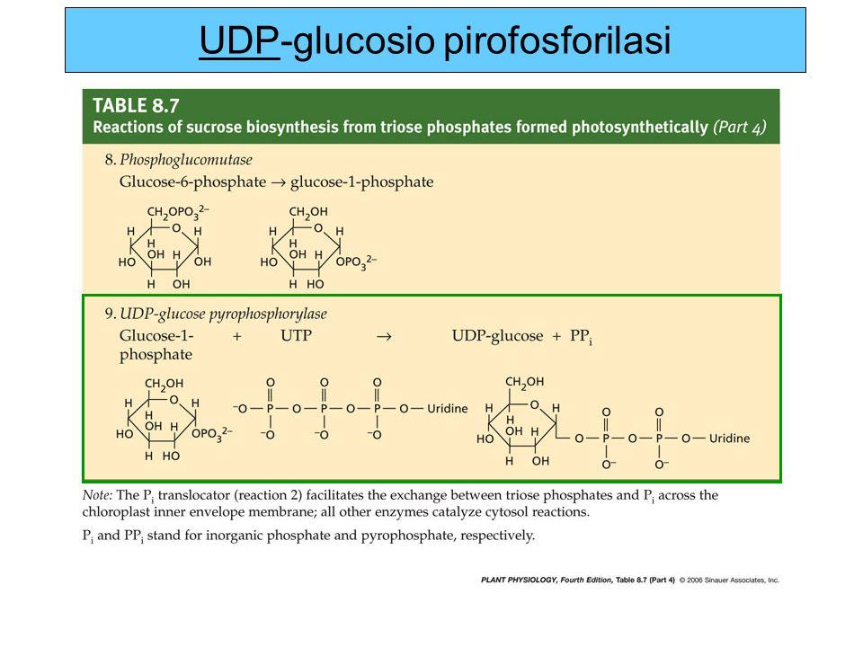 UDP-glucosio pirofosforilasi