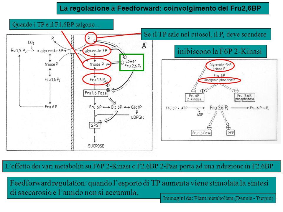 inibiscono la F6P 2-Kinasi
