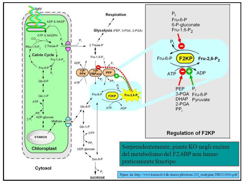 Sorprendentemente, piante KO negli enzimi del metabolismo del F2,6BP non hanno praticamente fenotipo