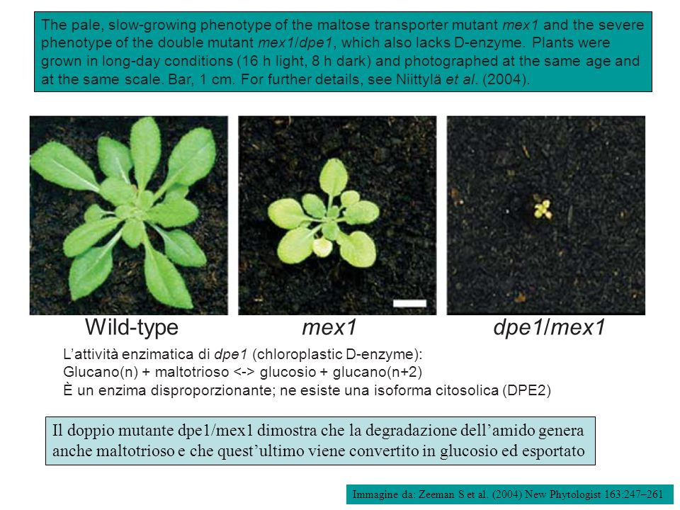 The pale, slow-growing phenotype of the maltose transporter mutant mex1 and the severe phenotype of the double mutant mex1/dpe1, which also lacks D-enzyme. Plants were grown in long-day conditions (16 h light, 8 h dark) and photographed at the same age and at the same scale. Bar, 1 cm. For further details, see Niittylä et al. (2004).
