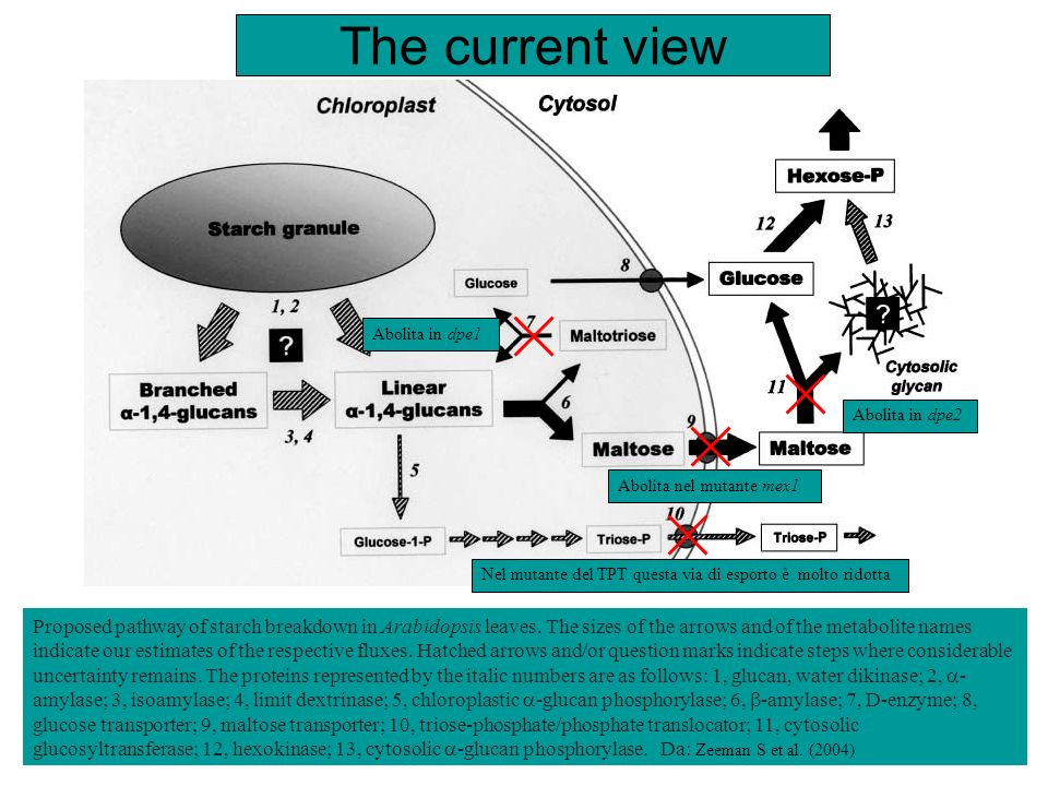 The current view Abolita in dpe1. Abolita in dpe2. Abolita nel mutante mex1. Nel mutante del TPT questa via di esporto è molto ridotta.