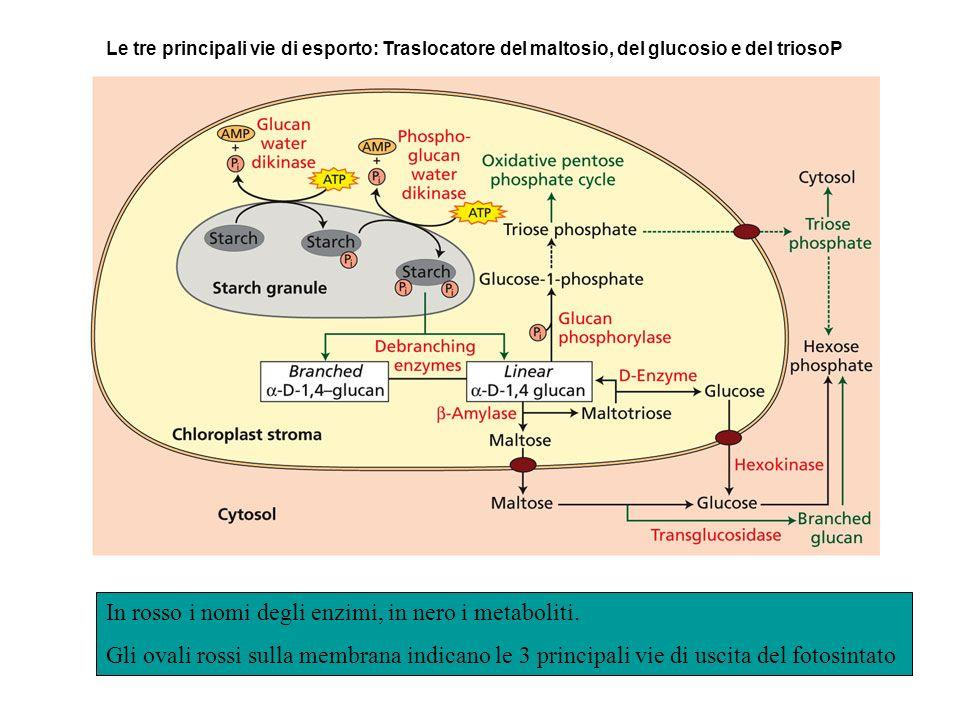 In rosso i nomi degli enzimi, in nero i metaboliti.