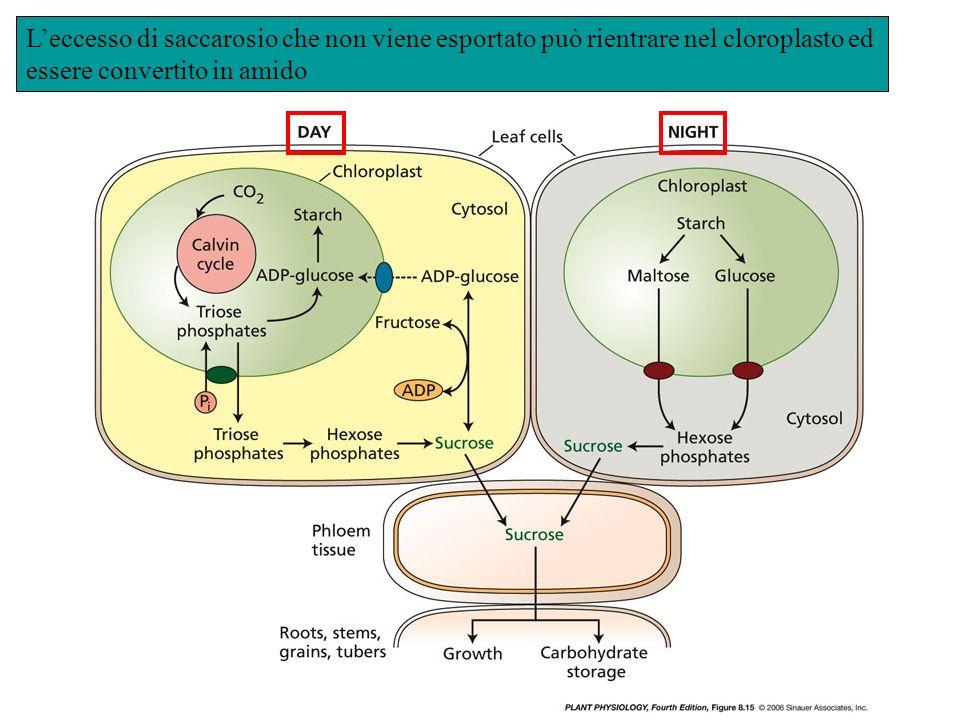 L'eccesso di saccarosio che non viene esportato può rientrare nel cloroplasto ed essere convertito in amido
