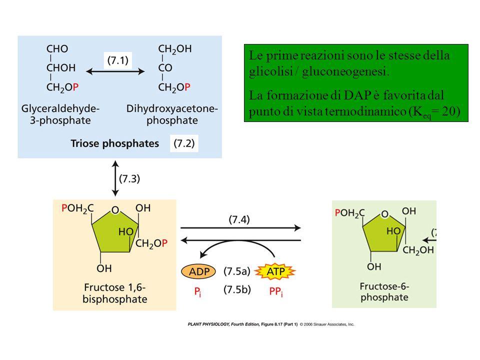 Le prime reazioni sono le stesse della glicolisi / gluconeogenesi.