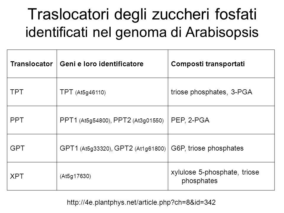 Traslocatori degli zuccheri fosfati identificati nel genoma di Arabisopsis