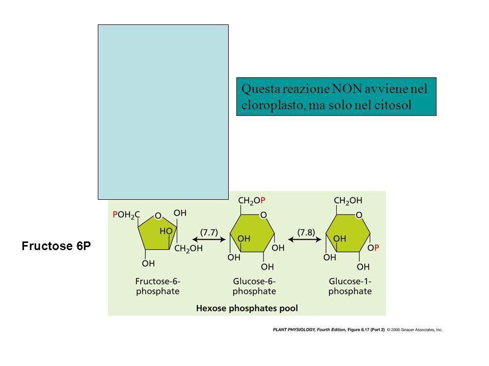 Questa reazione NON avviene nel cloroplasto, ma solo nel citosol