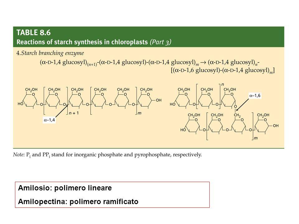 Amilosio: polimero lineare